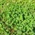 Burr clover