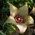 Orbea verrucosa
