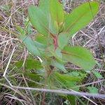 Protea seedling