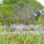 Agapanthis africana hybrid