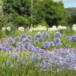 Agapanthus varieties