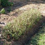Barleria obtusa pruned