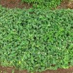 Barleria obtusa regrowth