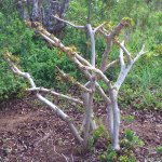 Bauhinia galpinii pruned