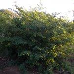 Bauhinia galpinii regrowth