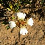 Blepharis capensis