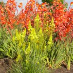 Bulbine abyssinica