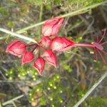 Cadaba aphylla