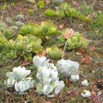 Cotyledon orbiculata var. spuria