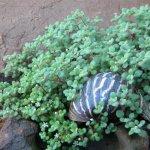 Crassula expansa subsp fragilis