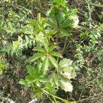 Cyphostemma quinatum