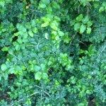 Dovyalis rotundifolia