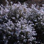 Eriocephalus afra; Wild rosemary