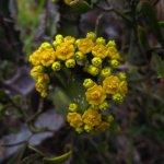 Euphorbia fimbriata perhaps
