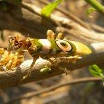 Eye-flowered mantid