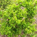 Grewia occidentalis pruned