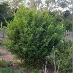Grewia occidentalis regrowth