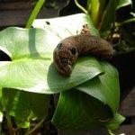 Hawk Moth caterpillar