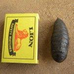 Hawk Moth pupa