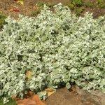 Helichrysm petiolare