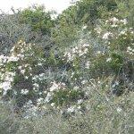 Jasminum multipartitum