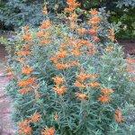 Fresh stems and bushy form of Leonotis leonorus pruned annually.