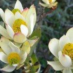 Leucodendron spissifolium