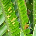 Zerenopsis leopardina eggs