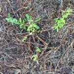 Osteospermum pruned