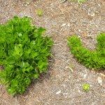 Osteospermum regrowth