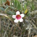 Pachypodium bispinosum