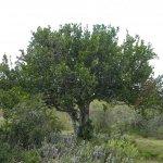 Pappea capensis; Jacket plum