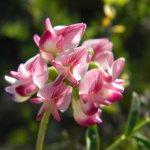 Pea flower Kwandwe
