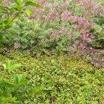 Portulacaria afra low growing var.