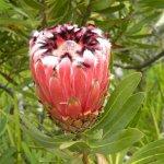 Protea neriifolia