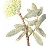 Protea nitido