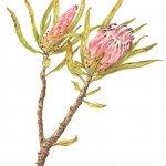 Protea pulchra
