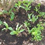 Scadoxus compost
