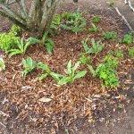 Scadoxus mulch