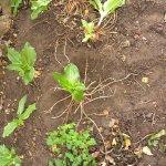 Scadoxus roots