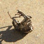 Snout beetle