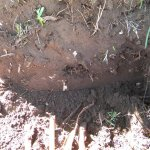 Strelitzia nicolai removal