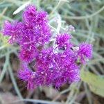 Vernonia pinifolia