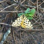Zerenopsis leopardina moth