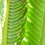 Zerenopsis leopardina larvae
