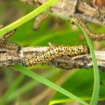 Zerenopsis leopardina larvae adult