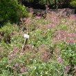 Pelargonium reniforme mass