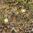 Othonna capensis hybrid