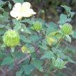 Abutilon sonneratianum