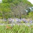 Agapanthus nana - blue